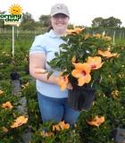 Flowering Hibiscus Bush Orange 10 in