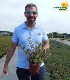 Flowering Cuphea 6 in