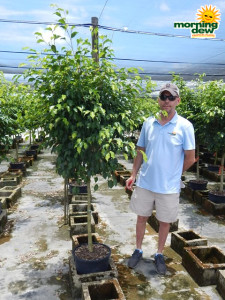 Ficus Benjamina Standard 14 in