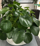 Pilea Peperomioides 6 in