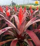 Bromeliad Aechmea Tropic Torch Red 9 in