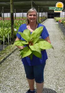 Bromeliad Aechmea Tayoensis 6 in