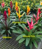 Bromeliad Vriesea Assorted 6 in