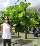 Ficus-Lyrata Std 17 in