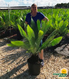 Palm Cycad Dioon Edule 14 in