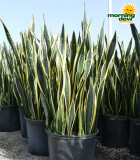 Sansevieria Black Limon 14 in