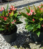 Flowering Anthurium Million Flower Red 8 in