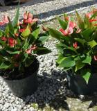 Flowering Anthurium Million Flower Red 8 in