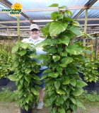 Totem Pothos Golden 10 in & 14 in