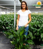 Spathiphyllum Compacto 8 in