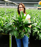 Spathiphyllum Romeo 6 in