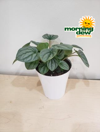 Peperomia Morning Dew Tropical Plants