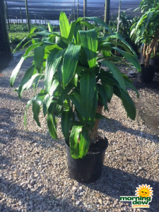 Dracaena Mass Stump 10 in
