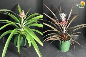 Fruit Pineapple 5 in