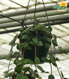 HB Peperomia Hope 6 in