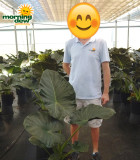 Alocasia Regal Shields 10 in
