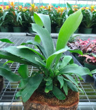 Fern Staghorn Coconut 6 in