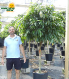 Ficus Amstel King Braid 17 in