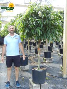 Ficus Amstel King Braid 17 in
