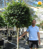 Ficus Midnight Standard 17 in
