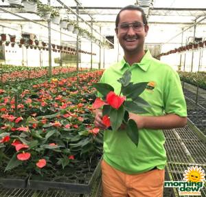Flowering Anthurium Solara 4 in
