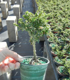 Bonsai Starts Bahama Berry 4 in