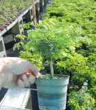 Bonsai Starts Brazilian Raintree 4 in