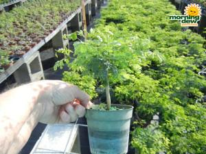 Bonsai Starts Brazilian Raintree 4 in