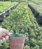 Bonsai Starts Eugenia Globulus 4 in