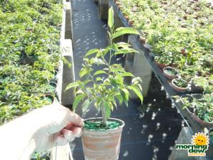 Bonsai Starts Ficus Oriental 4 in