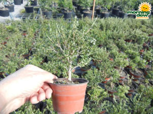 Bonsai Starts Serissa 4 in