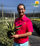 Sansevieria Black Gold Superba 6 in