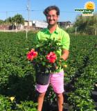 Flowering Hibiscus Bush Fiesta 10 in