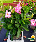 Flowering Mandevilla Pink Dark 10 in