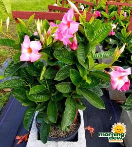 Flowering Mandevilla Pink Dark 10 in
