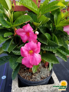 Flowering Mandevilla Pink Dark Bloom