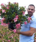 Flowering Mandevilla Pink Pretty 10 in