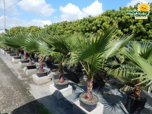 Palm Washingtonia 14 in