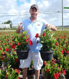 Flowering HB Mandevilla Red Velvet 10 in