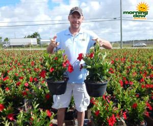 Flowering HB Mandevilla Red Velvet 10 in