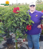 Flowering Hibiscus Braid Red Andrea 12 in
