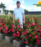 Flowering Mandevilla Pink Raspberry Kiss 10 in