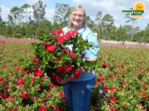 Flowering Mandevilla Red Velvet 10 in