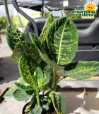 Dieffenbachia Iridescent 6 in