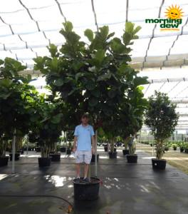 Ficus Lyrata (Pandurata) Std 28 in
