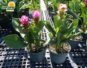 Flowering Curcuma 8 in