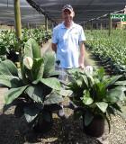 Spathiphyllum Sensation & Figaro 14 in