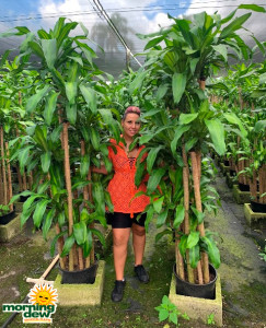 Dracaena Mass Cane Superset 14 in
