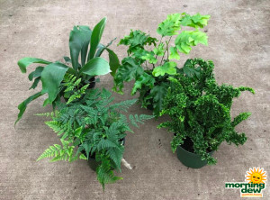 Fern Assorted Summer Mix 6 in