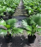 Palm Footstool (Saribus rotundifolius) 6 in